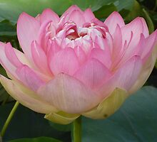 Pink Lotus of Love - Happy 2013 my beautiful RedBubble Friends! by Anthea  Slade