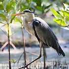 Wild heron in kenya by DerekWells