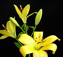 Yellow Lilies by Vitta