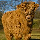 Highland calf in Scotland by DerekWells