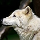 Arctic White Wolf by Michael Kirsh