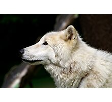 Arctic White Wolf Photographic Print