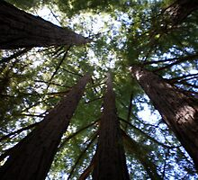 Redwoods reaching for the sky by Steve Upton