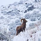 Winter Ram by DawsonImages