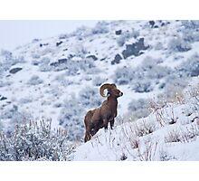 Winter Ram Photographic Print