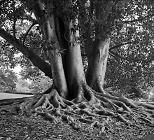 Tree roots by Roger Neal