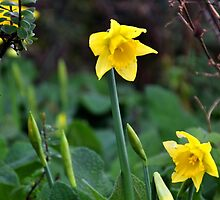 Do these Daffodils think its Spring by lynn carter
