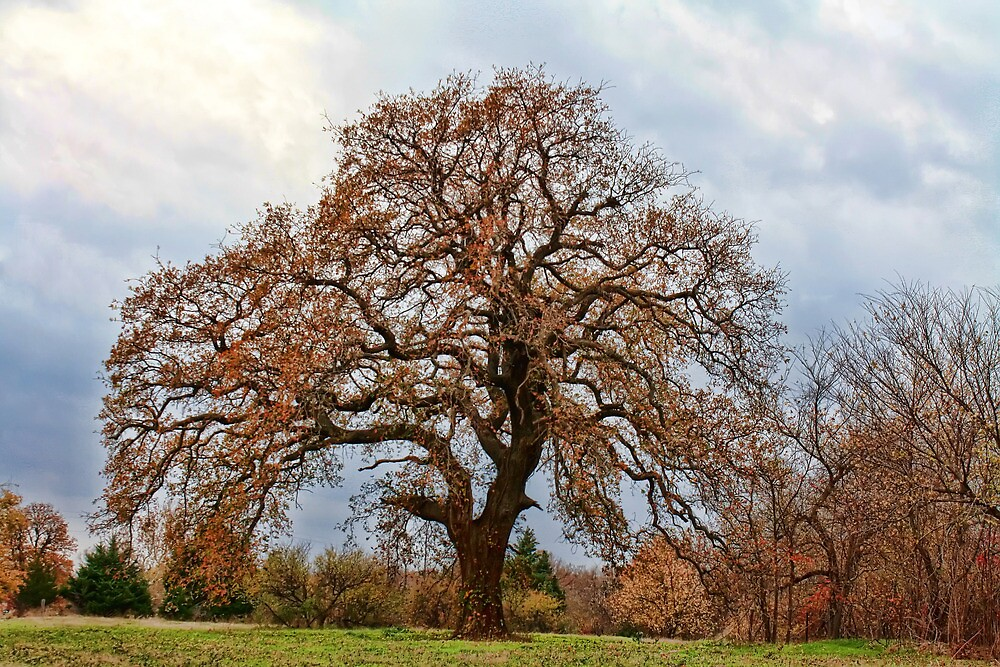 The Autumn Oak Tree by Carolyn  Fletcher