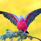 Last evening light  Galah  Marlo Vic. by helmutk