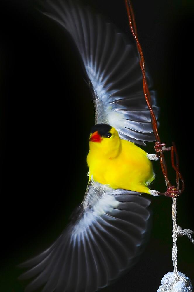 American Goldfinch Spread Flying by Randy Branham