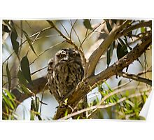 Australian Wildlife - Tawny Frogmouth Youngsters Poster