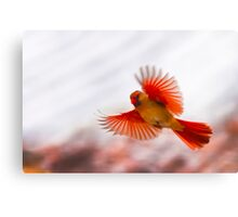 CARDINAL WINGS SPREAD Canvas Print