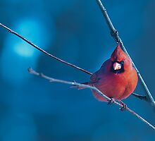 MALE CARDINAL MY BLUE HEAVEN by Randy & Kay Branham