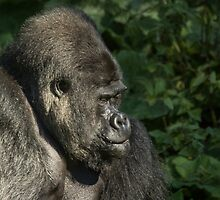 Silverback Gorilla by Lee Elvin