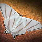 Moth from Panama by jimmy hoffman