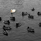 Duck Duck Goose by Stuart Steele