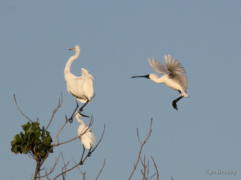 Egrets and Spoonbill, make room for me pls by Kym Bradley