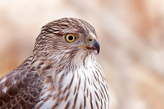 Cooper's hawk profile by Jim Cumming