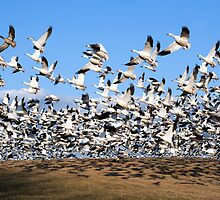 Snow Geese take Flight by Delmas Lehman