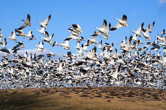 Snow Geese take Flight by Delmas Lehman