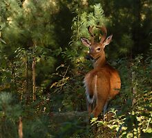 buck in the light by dc witmer