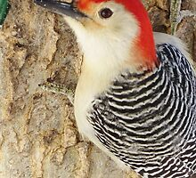 Red-bellied Pecker by lorilee