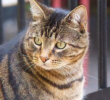 Jimmy, My Cat, Australia. by johnrf