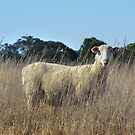 Sheep  by Russell Voigt
