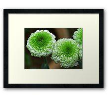 green mum flowers Framed Print