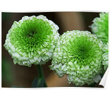 green mum flowers Poster