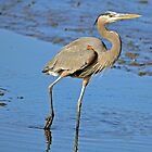 MUDDY FEET (Great Blue Heron) by imagetj