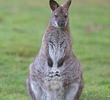 A Wallaby on guard by Keith Larby