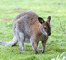 A Wallaby crouched down on the grass by Keith Larby