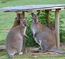 Wallabies by Keith Larby