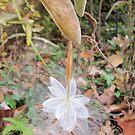 Fairy Milkweed by LightFootsteps