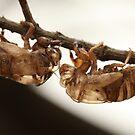Cicada shell by MiloAddict