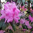 Rhododendron in pink  by DIANE  FIFIELD