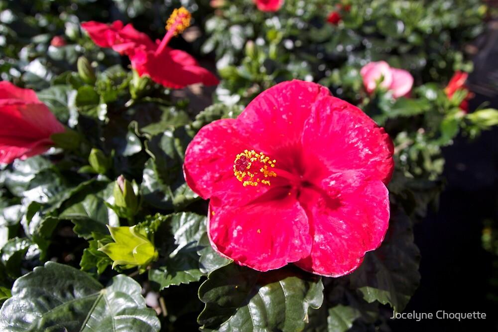 Red Beauty ! by Jocelyne Choquette