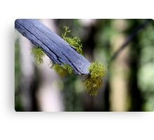 Moss on the end of a branch Canvas Print