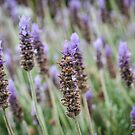 Lavender Fields by AngelaHumphries