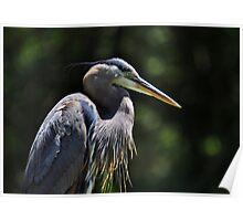 Graceful Great Blue Heron Poster