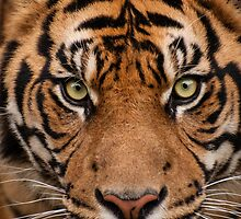 Eye of the Tiger by AngelaHumphries