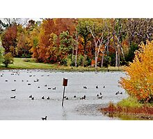 Geese and Ducks at the Pond Photographic Print