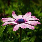 Osteospermum Flower #2 by AlexanderJones