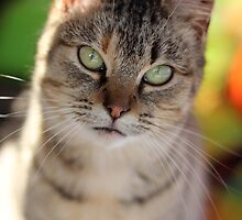 The Tabby Cat by AbigailJoy