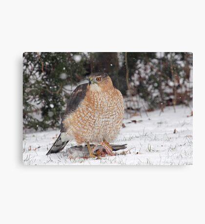 Cooper's Hawk With Prey ~ Canvas Print