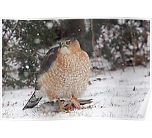 Cooper's Hawk With Prey ~ Poster