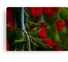 bird in bottle brush Canvas Print