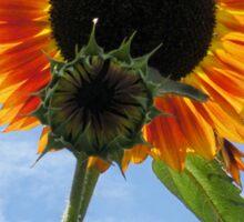 Backlit Sunflower and Bud Sticker