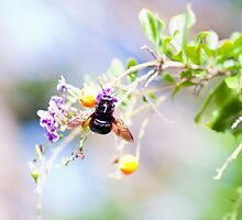Black Carpenter Bee by jayneeldred